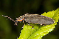 Winter Firefly (Ellychnia corrusca), West Harrison, Westchester County, New York