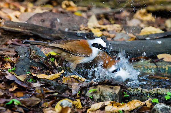 The White-crested Laughingthrushes (Garrulax leucolophus) splash while bathing at a watering hole.  (Kaeng Krachan, Thailand)