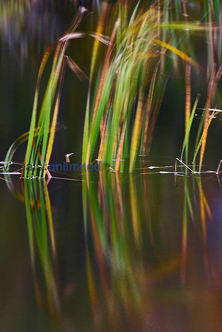 Cattails blowing in the wind, Maine, USA.