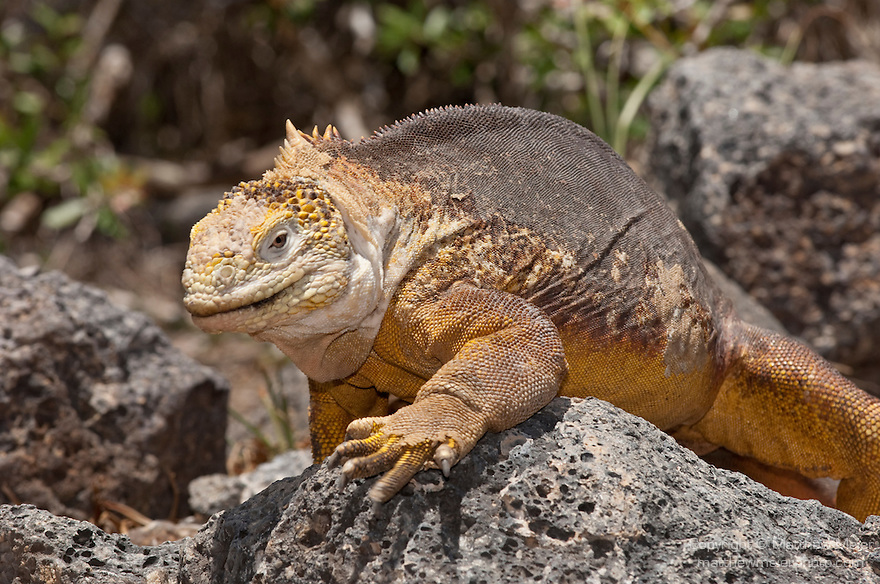 South Plazas Island, Galapagos, Ecuador; a Galapagos Land Iguana (Conolophus subcristatus) walking across the volcanic rocks , Copyright © Matthew Meier, matthewmeierphoto.com All Rights Reserved