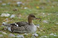 Mittelsäger, Weibchen, Mittel-Säger, Säger, Mergus serrator, red-breasted merganser