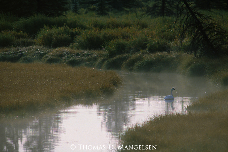 Single trumpeter swan floats down the snake river in Grand Teton National Park