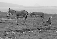 """Working donkeys resting, Dunquin (in Gaelic, Dún Chaoin, meaning """"Caon's stronghold""""), on the tip of the Dingle Peninsula, County Kerry, Ireland.  1971."""