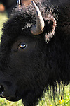 Close-up of bison in Custer State Park, South Dakoita