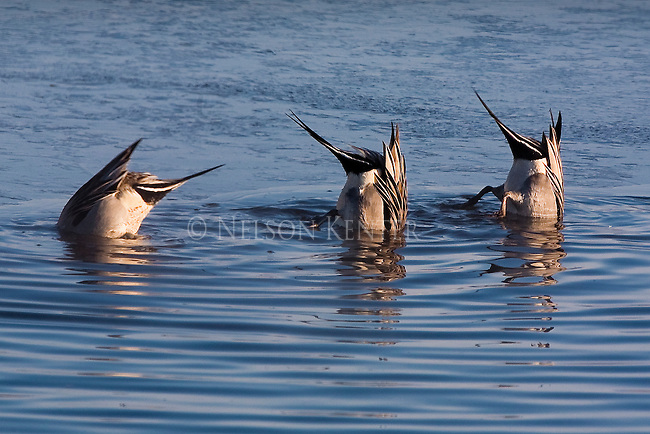 Three pintail ducks bottom feeding on a pond in Montana in winter