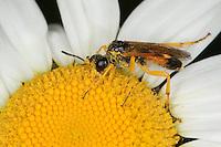 Blattwespe beim Blütenbesuch auf einer Margartite, Tenthredopsis spec., Sawfly, Saw-fly