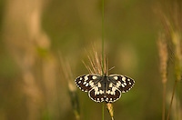 Marbled white, Melanargia galathea f procida, wings open sunbathing, Bulgaria