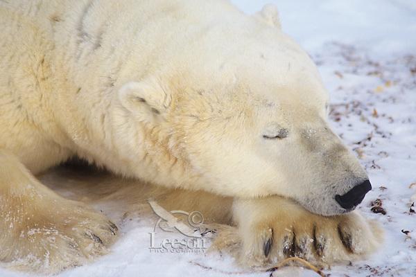 Polar Bear boar Sleeping (Ursus Maritimus)