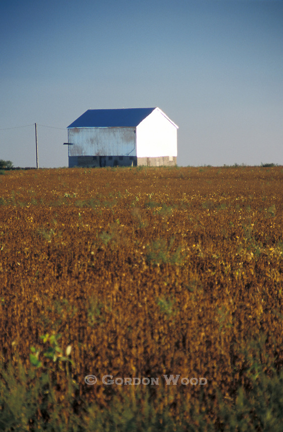 Late Harvest Soybean in Field with Barn