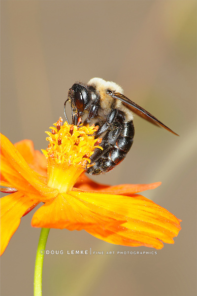 A Carpenter Bee Nectaring On An Orange Flower, Xylocopa micans