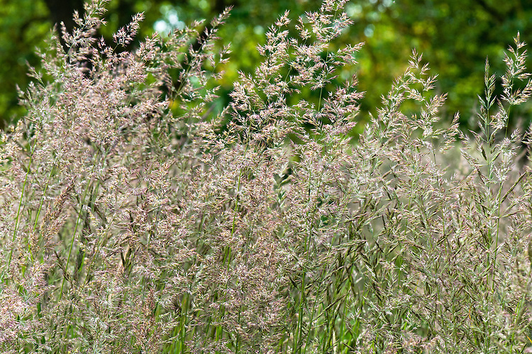 Feather reed grass (Calamagrostis x acutiflora 'Karl Foerster'), end June.
