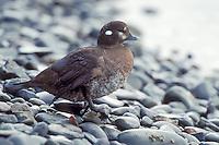 Harlequin Duck - Histrionicus histrionicus - female