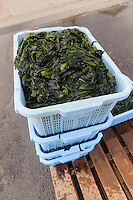 Freshly boiled wakame, harvesting wakame at dawn, Awata fishing port, Naruto, Tokushima Prefecture, Japan, February 4, 2012.