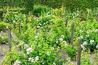 France, Loir-et-Cher (41), Cheverny, château de Cheverny, le jardin bouquetier, vignes et rosiers