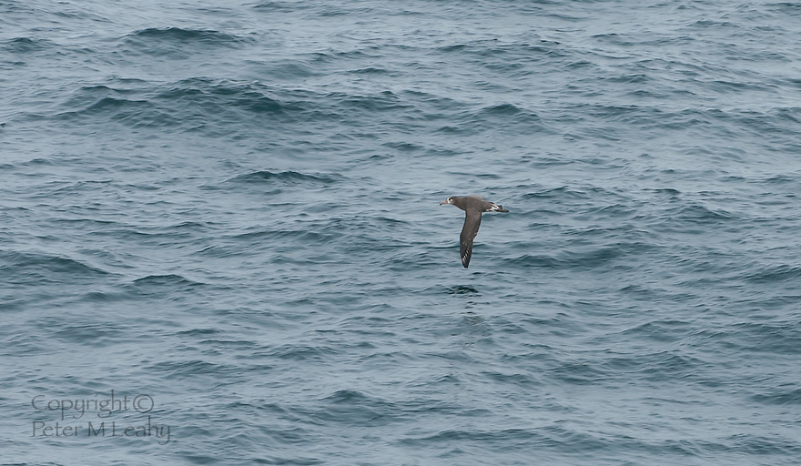 Black Footed Albatross, slightly west of Dutch Harbor Alaska