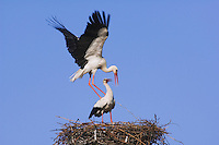 White Stork, Ciconia ciconia, pair on nest mating, Rust, National Park Lake Neusiedl, Burgenland, Austria, Europe