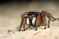 Springspinne, Männchen, Asianellus festivus, Phlegra festiva, Jumping spider, male, Springspinnen, Salticidae, Jumping spiders