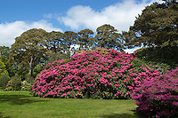 Ireland, County Kerry, near Killarney, Killarney National Park: Muckross Estate, the gardens of Muckross House with Rhododendrons and Azaleas | Irland, County Kerry, bei Killarney, Killarney National Park: Muckross Estate, im Park des Muckross House mit Rhododendron and Azaleen