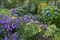 Fall September autumn flower garden with morning glory vine Ipomoea Heavenly Blue, Aster dumosus Sapphirne, Coreopsis Full Moon, Rudbeckia, Helleborus, picket fence, Kolkwitzia, Plectranthus