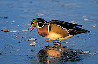 Wood Duck drake walking on ice. Winter. Coastal British Columbia, Canada. (Aix sponsa).
