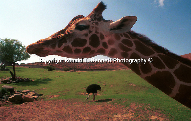 Giraffe, tallest land animal, artiodactyla, giraffidae, giraffa, camelopardalis, ruminant, horns, ossicones, camouflage body, Giraffa camelopardalis, animal, wild animals, domestic animals,  Fine Art Photography, Ronald T. Bennett (c) Fine Art Photography by Ron Bennett, Fine Art, Fine Art photography, Art Photography, Copyright RonBennettPhotography.com ©
