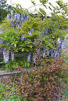 Physocarpus opulifolius Coppertina & Wisteria on wooden post and rail fence in spring . Note that Physocarpus 'Coppertina' aka Mindia is called Physocarpus opulifolius 'Diable D'Or' aka Mindia in Europe.