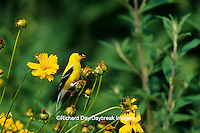 01640-11106 American Goldfinch (Carduelis tristis) male eating Coreopsis seeds Marion Co. IL