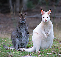 Bruny Island is home to a small population of white Bennett's wallabies.  Though some residents think of them as being similar to Canada's spirit bears, most are in fact true albinos, with pink eyes and poor vision.  Here, a white mother is seen with its normal-colored joey.