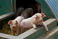 Free range pigs - July, Norfolk
