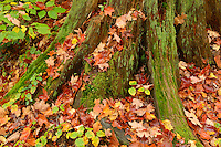 Old moss covered tree trunk and fallen maple leaves<br /> Ragged Falls Provincial Park<br /> Ontario<br /> Canada