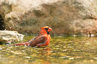 Male Northern Cardinal taking a bath.