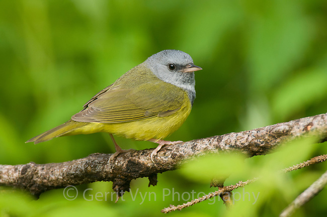 Adult male Mourning Warbler (Oporornis philadelphia) in breeding plumage. Tompkins County, New York. May.