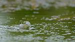 Eurasian Marsh Frog (Rana ridibunda), Croatia