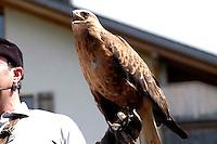 Liechtenstein  Malbun  June 2008.Small town high in the Alpine (southeastern)..Falconry Center.The falconer Norman  Vogeli with Harris' Hawk (Parabuteo unicinctus) .www.galina.li...
