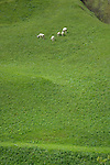 Sheep grazing in field above small mountain hamlet off the Hajntennjoch pass close to Elmen. Imst district, Tyrol/Tirol. Austria.