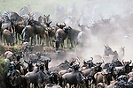 The annual fall migration of wildebeest and zebra is a wildlife spectacular not to be missed.  Here the migrating animals have become congested at the edge of the Mara River.  It is a dangerous place because Nile crocodiles await just below the water's surface.