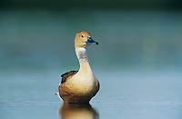 Fulvous Whistling-Duck, Dendrocygna bicolor, adult, Welder Wildlife Refuge, Sinton, Texas, USA, June 2005