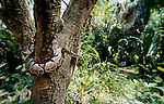 Royal Python, Python regius, curled around tree trunk, wide angle showing forest, West Africa
