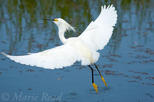Snowy Egret (Egretta thula) taking flight, Viera, Florida, USA