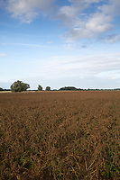 Potatoes after desiccation <br /> ©Tim Scrivener Photographer 07850 303986<br />      ....Covering Agriculture In The UK....