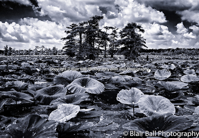 Lotus pads on Reelfoot Reel Foot Lake