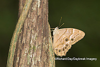 03481-00108 Southern Pearly-Eye (Enodia portlandia) Big Oak Tree State Park Mississippi County, MO