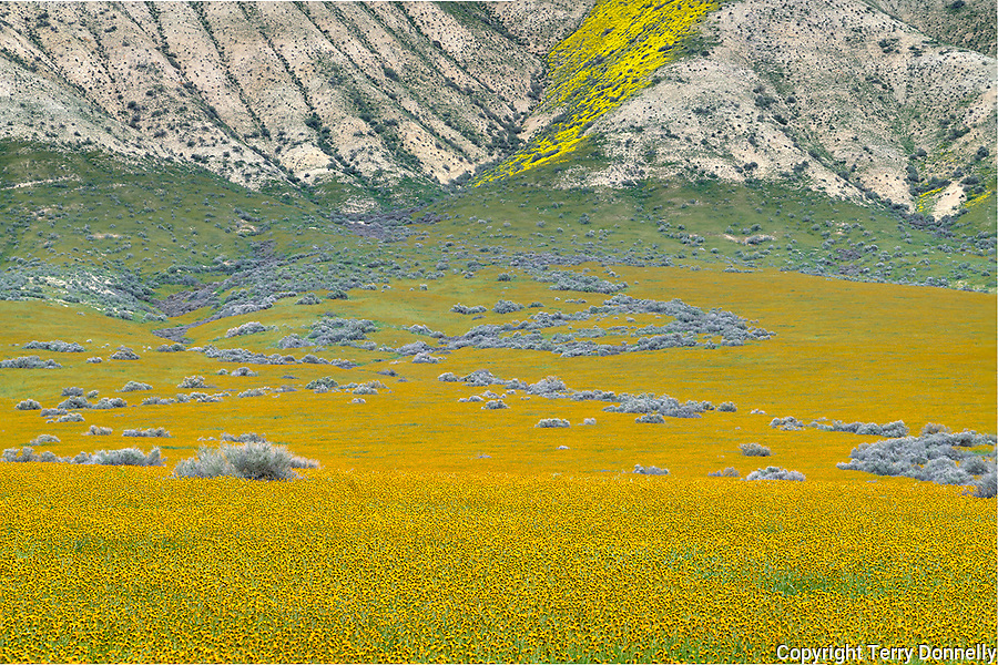 Carrizo Plain National Monument, California:<br /> Carrizo valley floor covered with swaths of fiddlehead <br /> wildflowers. Temblor range hills.