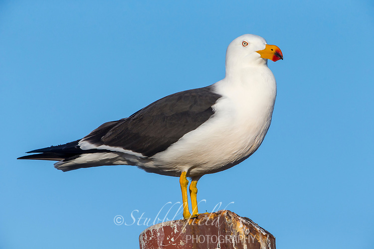 Pacific Gull (Larus pacificus georgii) adult resting off Kangaroo Island, South Australia, Australia.