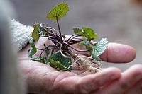 Gewöhnliche Knoblauchsrauke, Knoblauchsrauke, Knoblauchrauke, Knoblauch-Rauke, Knoblauchs-Rauke, Lauchkraut, Knoblauchskraut, Knoblauchhederich, Knoblauchshederich, junge, zarte Blätter vor der Blüte, Alliaria petiolata, Hedge Garlic, Jack-by-the-Hedge, Garlic Mustard, garlic root, Alliaire, L'Alliaire officinale, Herbe à ail. Blatt, Blätter, leaf, leaves, Wurzel, Wurzeln, Knoblauchsrauken-Wurzeln, Knoblauchsrauken-Wurzel, Knoblauchsraukenwurzeln, root, roots