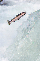 Wild Summer Steelhead Salmon (Oncorhychus mykiss) jumping falls on migration to spawning areas.  Pacific Northwest.  Fall.