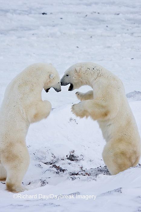 01874-11412 Polar Bears (Ursus maritimus) sparring, Churchill Wildlife Management Area MB