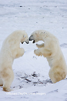 01874-11412 Polar Bears (Ursus maritimus) sparring, Churchill Wildlife Management Area MB