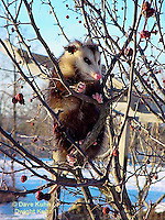 MA30-011z  Virginia Opossum  Didelphis virginiana.©Dave Kuhn/Dwight Kuhn Photography.