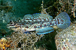 Coryphopterus dicrus, Colon goby, Blue Heron Bridge, Florida